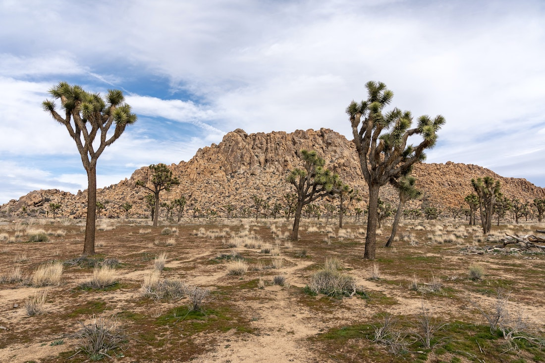 The Joshua Tree Is the First Plant Protected Due to Climate Change