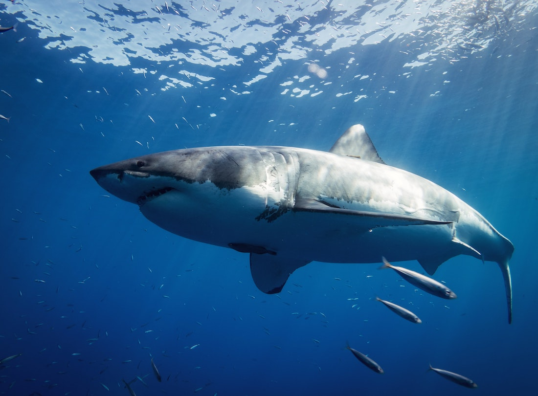 Rise in Shark Encounters Reminds Surfers of Unique, Terrifying Risk