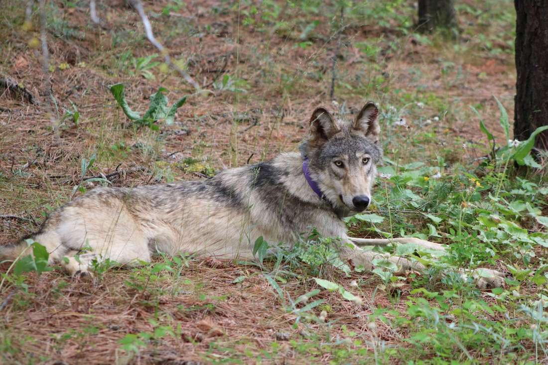 Gray Wolf From Oregon Embarks on Epic 500-Mile Journey